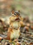 Chipmunk in woods