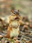 Chipmunk in woods