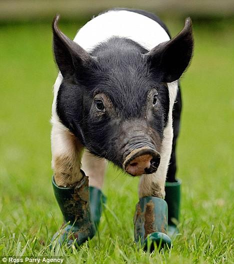 piglet in boots running