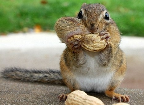 chipmunk with full cheeks