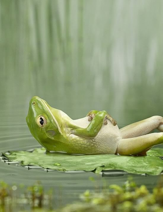 frog reclined on a lily pad