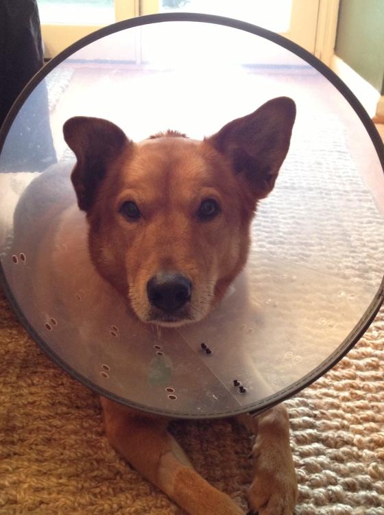 hattie dog in a cone